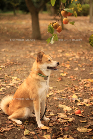 犬と柿の写真素材 [FYI00217427]