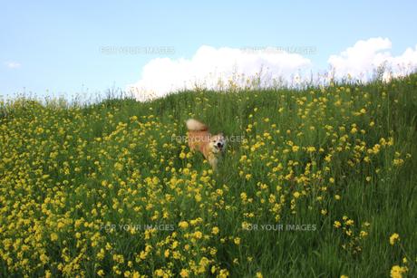 菜の花畑と犬の写真素材 [FYI00217429]