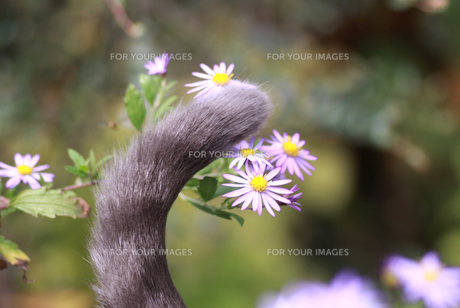 猫のシッポの写真素材 [FYI00217437]