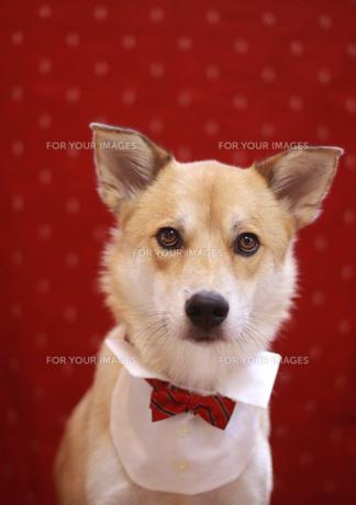 おしゃれな犬の写真素材 [FYI00217441]