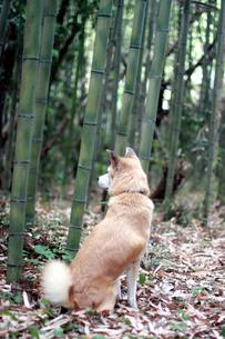 犬と竹やぶの写真素材 [FYI00217461]
