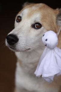 犬とてるてる坊主の写真素材 [FYI00217464]
