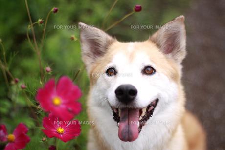 犬とコスモスの写真素材 [FYI00217467]