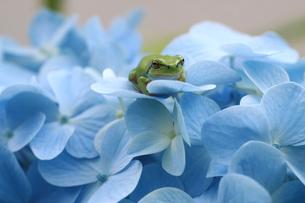 紫陽花とカエルの写真素材 [FYI00217476]