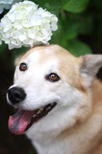 犬と紫陽花の写真素材 [FYI00217479]
