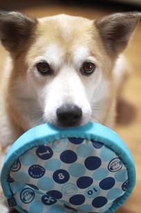 フリスビーを咥える犬の写真素材 [FYI00217488]