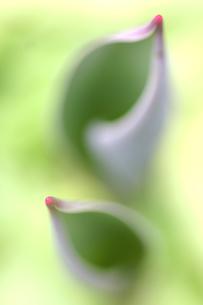 チューリップの葉の写真素材 [FYI00217504]