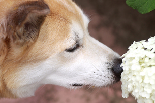 匂いを嗅ぐ犬の写真素材 [FYI00217510]
