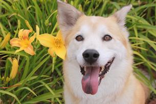 犬とキスゲの写真素材 [FYI00217511]