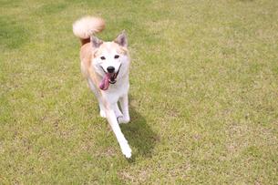 走る犬の写真素材 [FYI00217513]