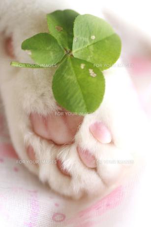 猫の肉球とクローバーの写真素材 [FYI00217521]