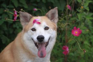 犬とコスモスの写真素材 [FYI00217525]
