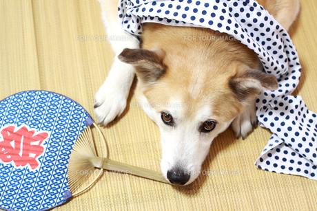 夏に伏せて寝る犬の写真素材 [FYI00217529]