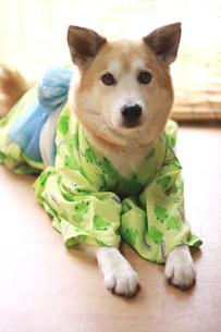 浴衣を着た犬の写真素材 [FYI00217533]