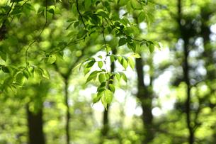 新緑の森の写真素材 [FYI00217535]