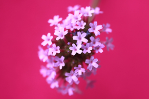 ピンク背景のヤナギハナガサの写真素材 [FYI00217566]