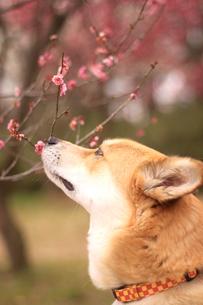 梅の匂いを嗅ぐ犬の素材 [FYI00217567]