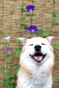笑顔の犬と朝顔の素材 [FYI00217586]
