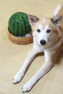 犬とスイカの写真素材 [FYI00217589]
