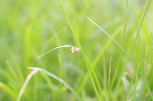 草にとまるカタツムリの写真素材 [FYI00217593]
