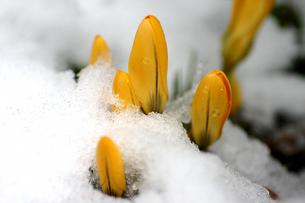 雪から顔を出すクロッカスの写真素材 [FYI00217606]