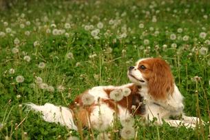 犬とたんぽぽの写真素材 [FYI00217610]