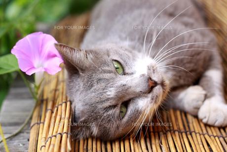 縁台で寝ころぶ猫の素材 [FYI00217611]