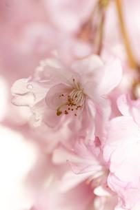 雨に濡れた桜の写真素材 [FYI00217614]
