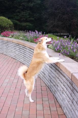 立ち上がって眺める犬の素材 [FYI00217621]
