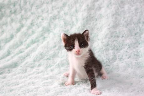 座るハチワレの子猫の素材 [FYI00217626]