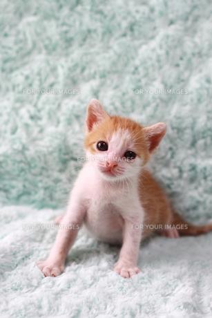 子猫の素材 [FYI00217628]