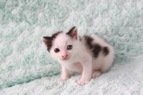 白黒ブチの子猫の素材 [FYI00217629]