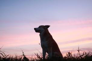 犬の横顔とグラデーションする夕焼けの素材 [FYI00217633]