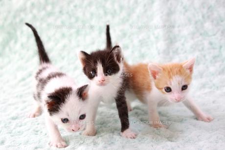 3匹の子猫の素材 [FYI00217639]