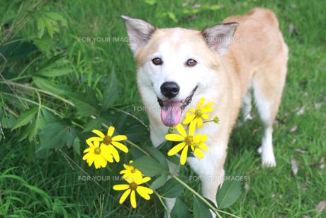 笑顔の犬と黄色い花の写真素材 [FYI00217645]