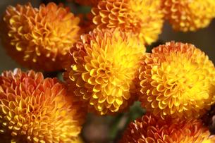 ポンポン咲きの黄色い菊の花の写真素材 [FYI00217681]