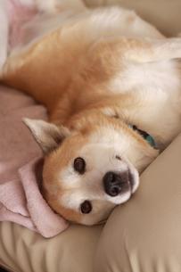 ソファーでひっくり返ってくつろぐ犬の写真素材 [FYI00217697]