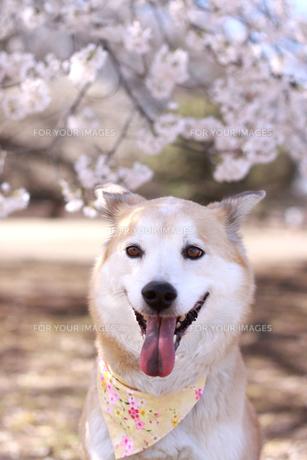 満開の桜と笑顔の犬の写真素材 [FYI00217704]