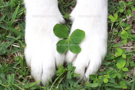 四つ葉のクローバーと犬の前足の素材 [FYI00217742]