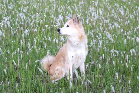 一面のチガヤと横向きの犬の写真素材 [FYI00217744]