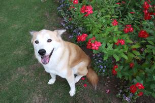 笑顔の犬と夏の花壇の写真素材 [FYI00217749]