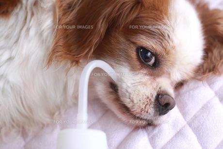 老犬の水分補給の写真素材 [FYI00217757]