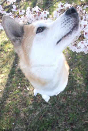 立ち上がって桜の匂いを嗅ぐ犬の写真素材 [FYI00217762]