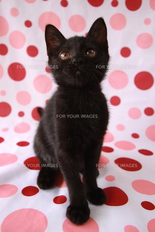黒い子猫の写真素材 [FYI00217764]