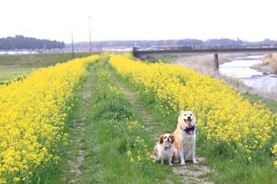 菜の花と2匹の犬の写真素材 [FYI00217765]