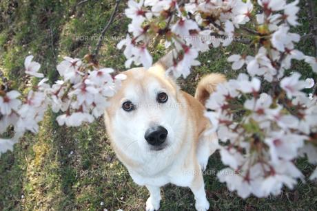 桜の花と見上げる犬の写真素材 [FYI00217766]