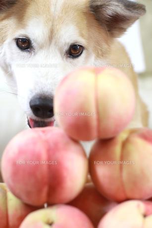 桃を見つめる犬の写真素材 [FYI00217770]