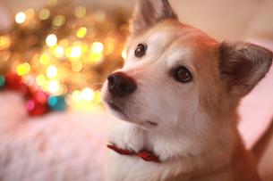 イルミネーションと犬の写真素材 [FYI00217777]