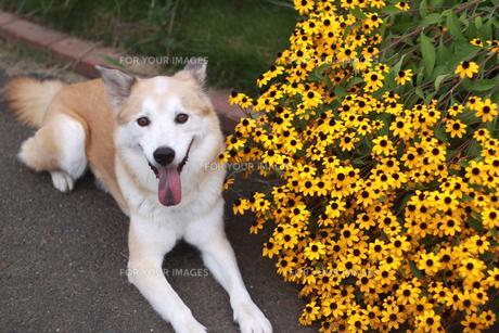笑顔で伏せている犬と黄色い花の写真素材 [FYI00217778]