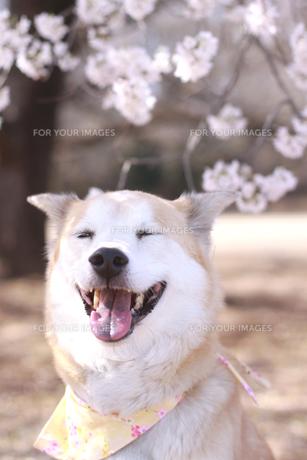 満開の桜と笑顔の犬の写真素材 [FYI00217779]